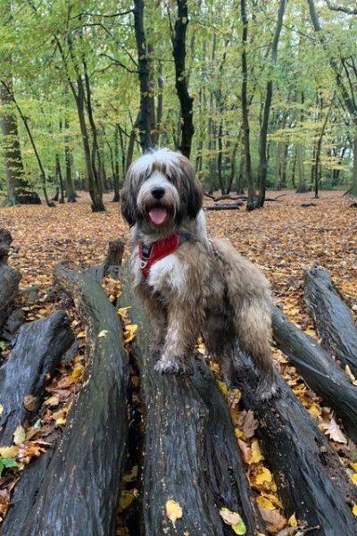dog walking in woods